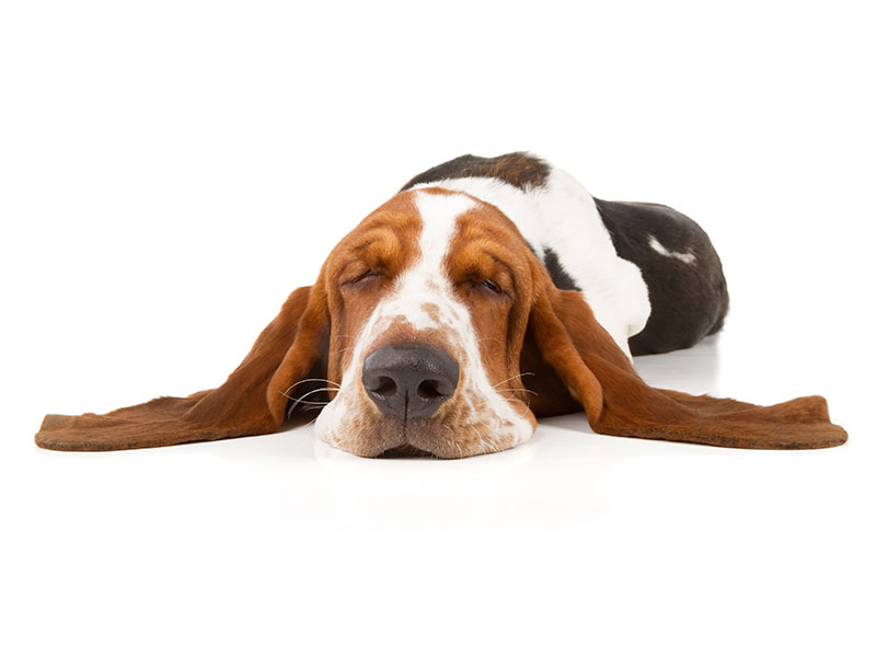 basset-hound-animal-medical-center-of-austin-1