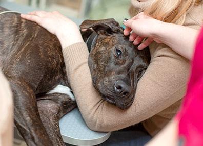 comfort-dog-animal-medical-center-of-austin