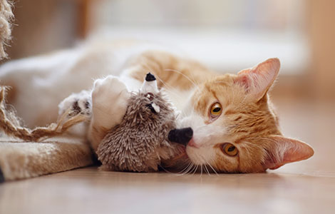 cat-laying-down-with-toy