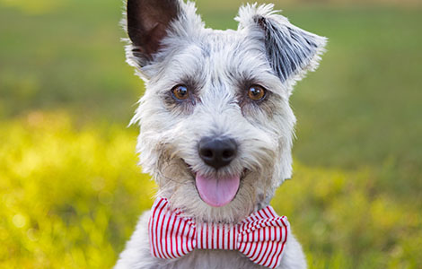 dog-in-field-with-bowtie