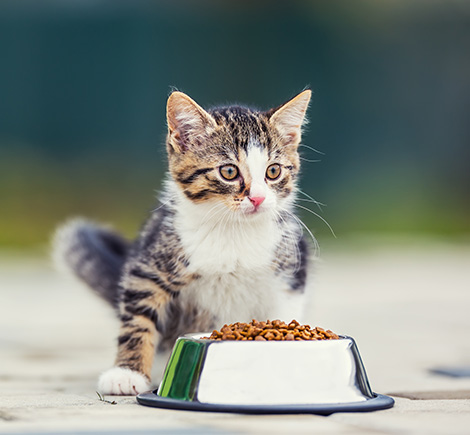 kitten-with-food-bowl