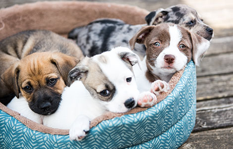 puppies-in-dog-bed